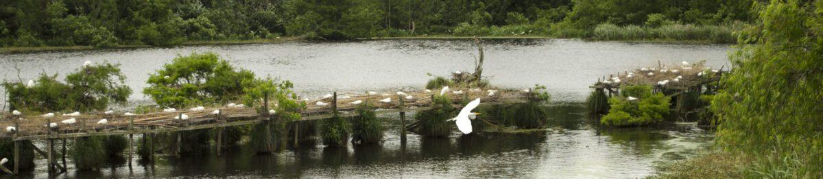 An egret flies away from nesting platform